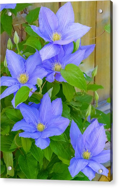 Acrylic Print featuring the photograph Clematis  by Garvin Hunter