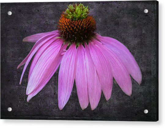 Acrylic Print featuring the photograph Cone Flower by Garvin Hunter