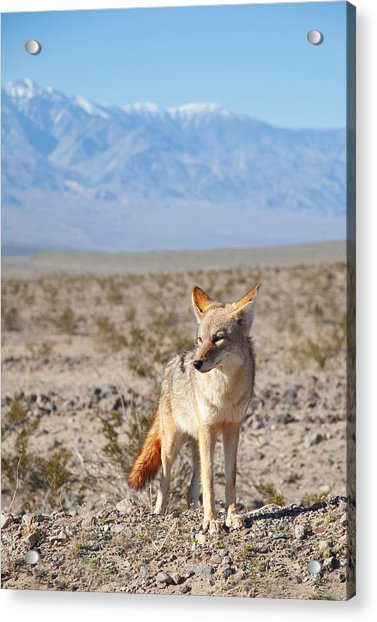 Desert Coyote  Acrylic Print