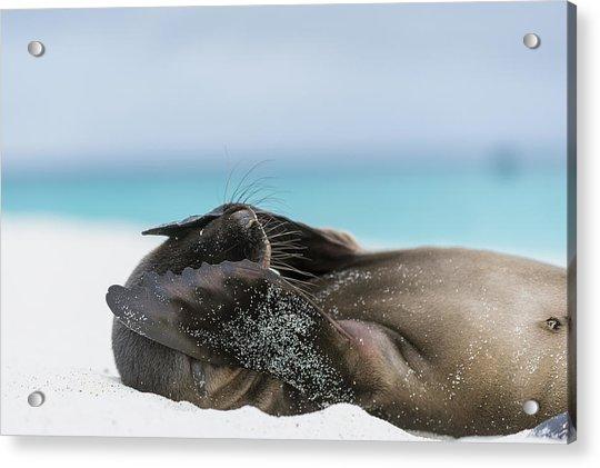 Galapagos Sea Lion Pup Covering Face Acrylic Print