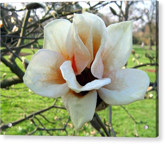 Magnolia 2 Acrylic Print