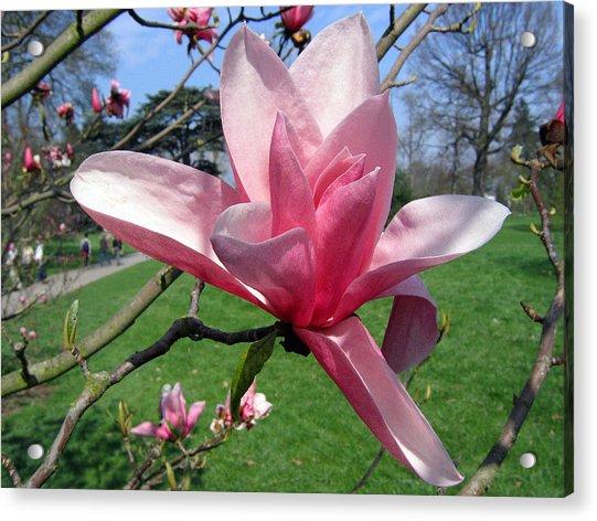 Magnolia 4 Acrylic Print
