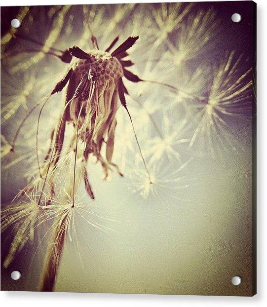 #mgmarts #dandelion #makeawish #wish Acrylic Print