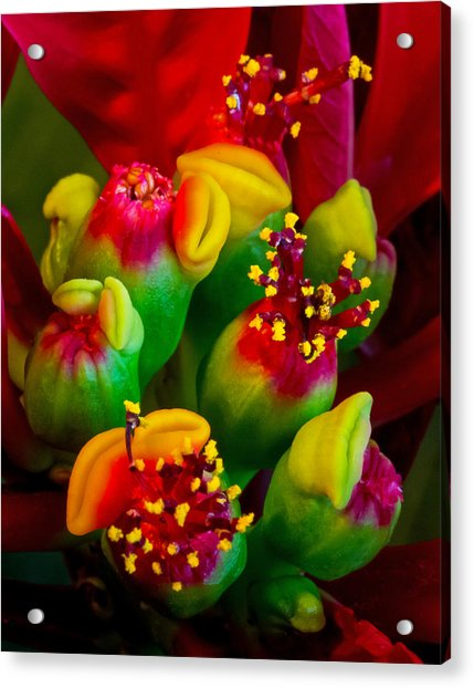 Poinsettia Flowers Acrylic Print