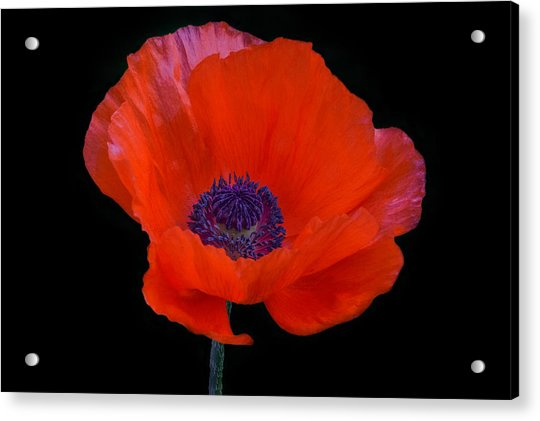 Acrylic Print featuring the photograph Poppy  by Garvin Hunter