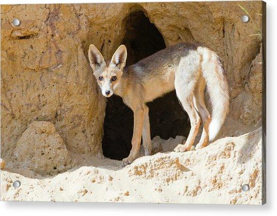 Red Fox (vulpes Vulpes) Acrylic Print by Photostock-israel