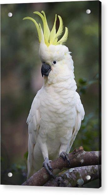 Sulphur-crested Cockatoo Displaying Acrylic Print