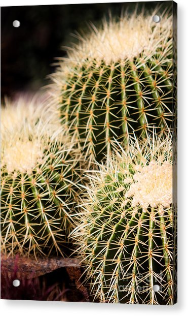 Triple Cactus Acrylic Print