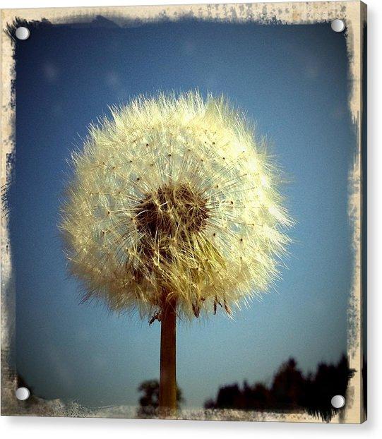 Dandelion And Blue Sky Acrylic Print