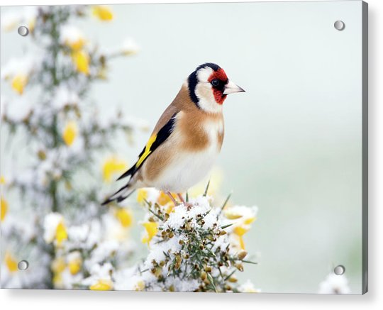 European Goldfinch Acrylic Print by John Devries/science Photo Library