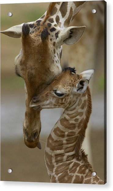 Rothschild Giraffe And Calf Acrylic Print
