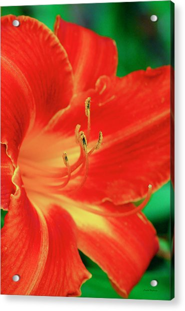 Red, Orange And Yellow Lily Acrylic Print