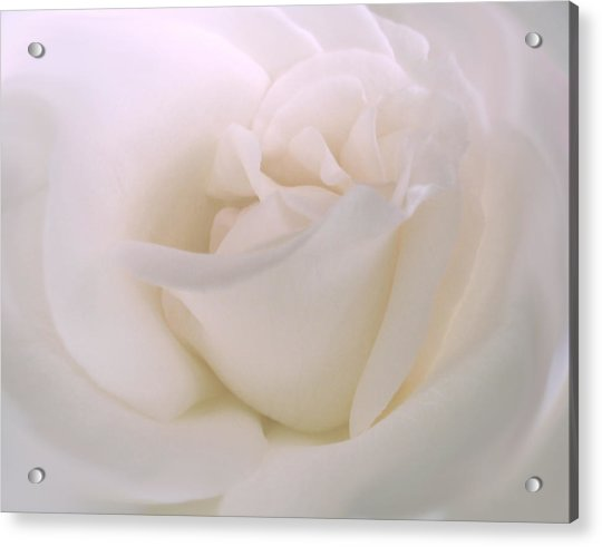 Softness Of A White Rose Flower Acrylic Print