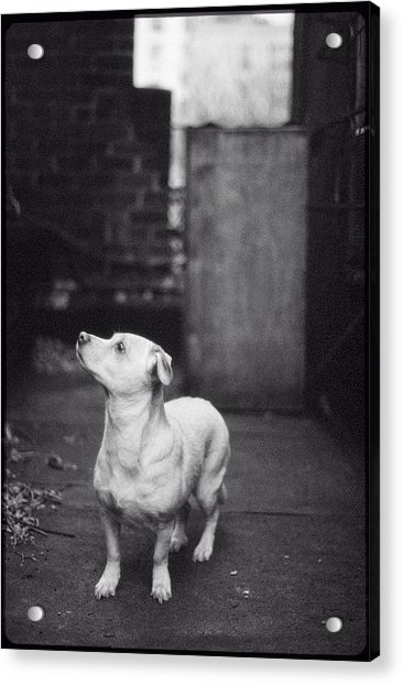 A Dog On The Roof In New York City Acrylic Print