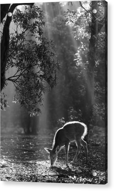 A Fawn In The Forest Acrylic Print