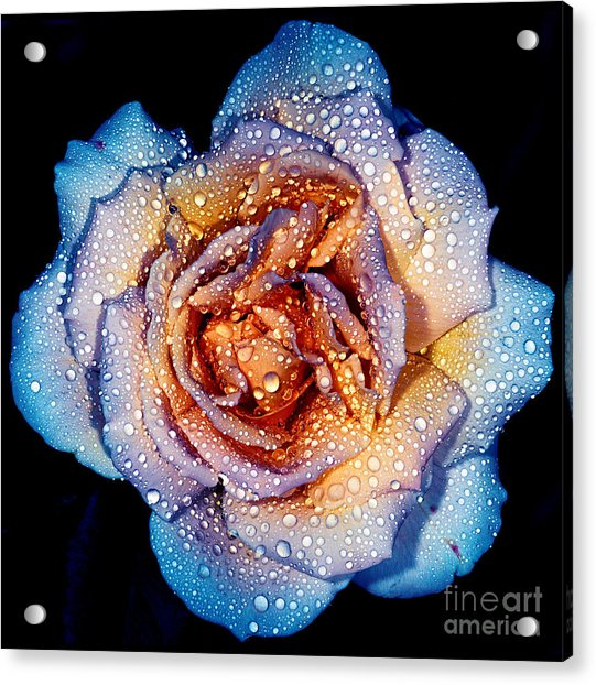 A Rose By Any Other Colour Acrylic Print
