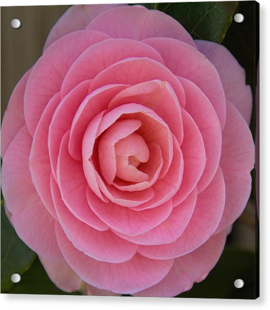 Acrylic Print featuring the photograph A Soft Blush by Jemmy Archer