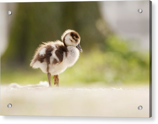 All Alone - Egyptean Gosling And A Tree Acrylic Print
