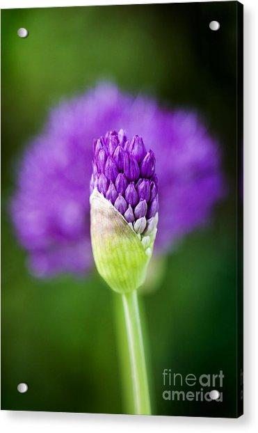 Allium Hollandicum Purple Sensation Acrylic Print