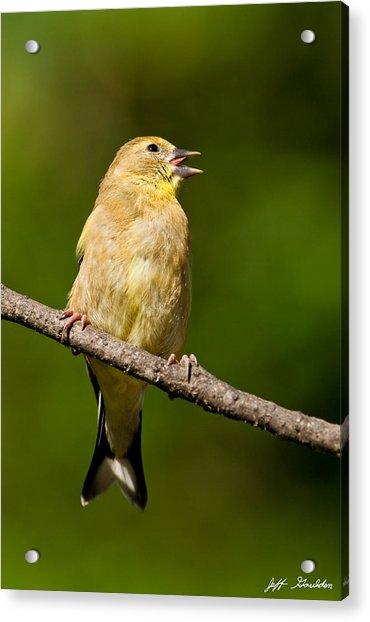American Goldfinch Singing Acrylic Print