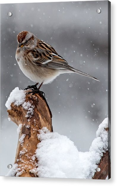 American Tree Sparrow In Snow Acrylic Print