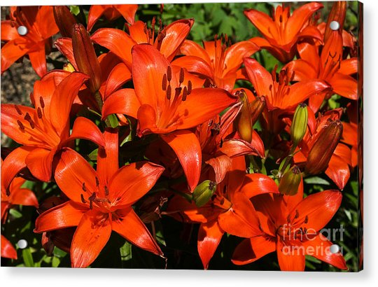 Asiatic Lily Acrylic Print