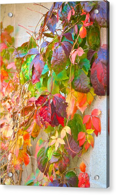 Autumn Colors Of Virginia Creeper Acrylic Print