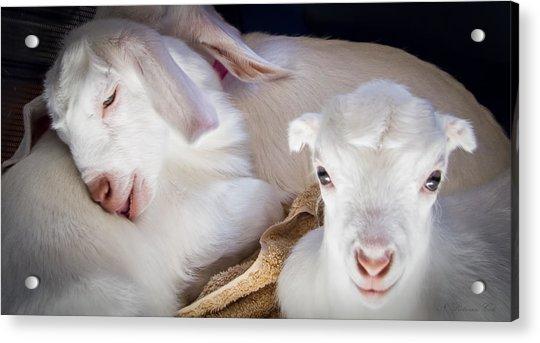 Baby Goats Napping Acrylic Print