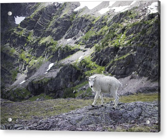 Baby Mountain Goat At Comeau Pass Acrylic Print