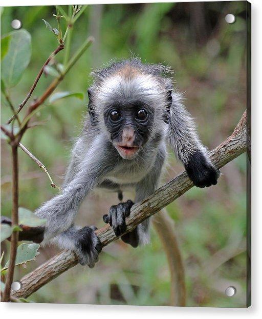 Baby Red Colobus Monkey Acrylic Print