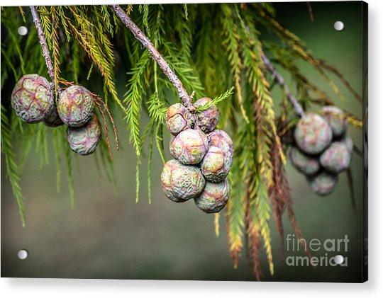 Bald Cypress Tree Seed Pods Acrylic Print