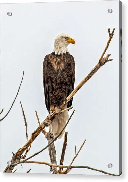 Bald Eagle On A Branch Acrylic Print