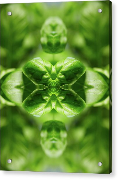 Basil Leaves Acrylic Print by Silvia Otte