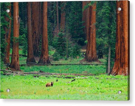 Bear In Sequoia National Park Acrylic Print