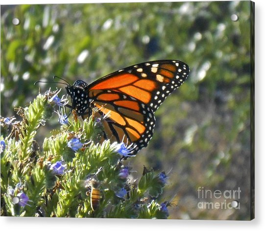 Bee And Monarch  Acrylic Print