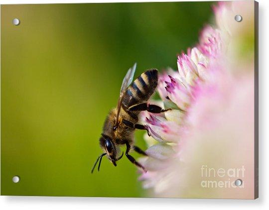 Bee Sitting On A Flower Acrylic Print