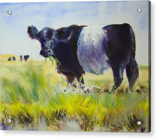 Belted Galloway Cow Acrylic Print