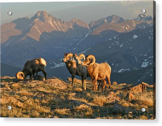 Bighorn Under Longs Peak Acrylic Print by Robert Yone
