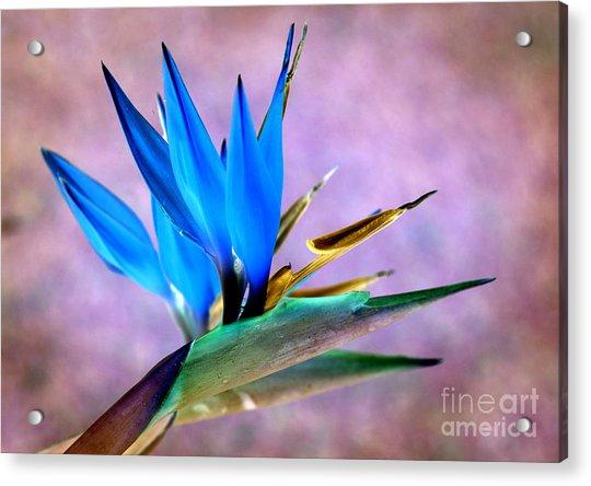 Bird Of Paradise Bloom Acrylic Print