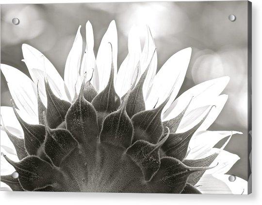 Black And White Sunflower Acrylic Print