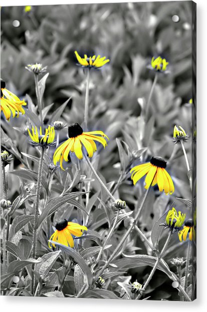 Acrylic Print featuring the photograph Black-eyed Susan Field by Carolyn Marshall