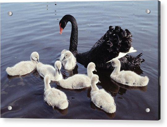 Black Swan And Cygnets Acrylic Print