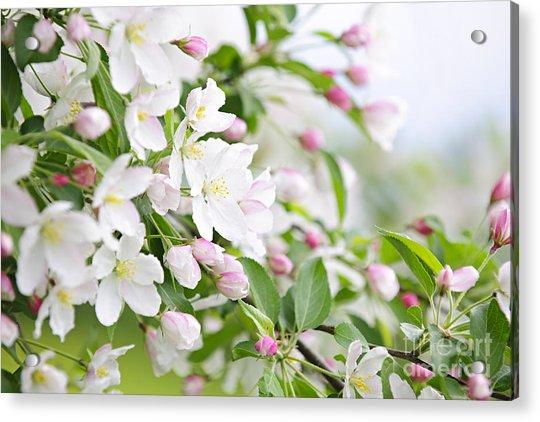 Blooming Apple Tree Acrylic Print