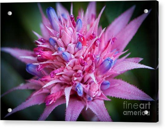 Blooming Bromeliad Acrylic Print