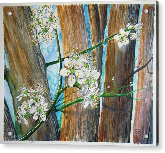 Blooms Of The Cleaveland Pear Acrylic Print