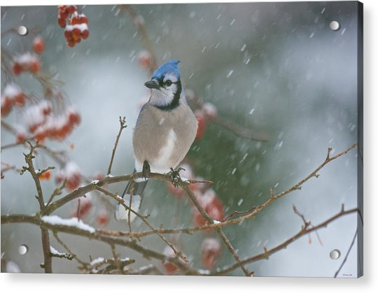 Blue Jay In Snow Acrylic Print