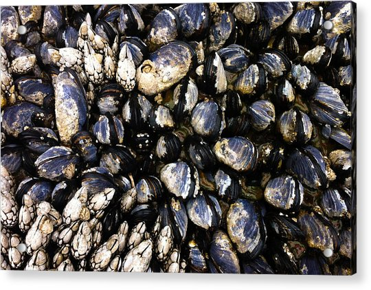 Blue Mussels Acrylic Print