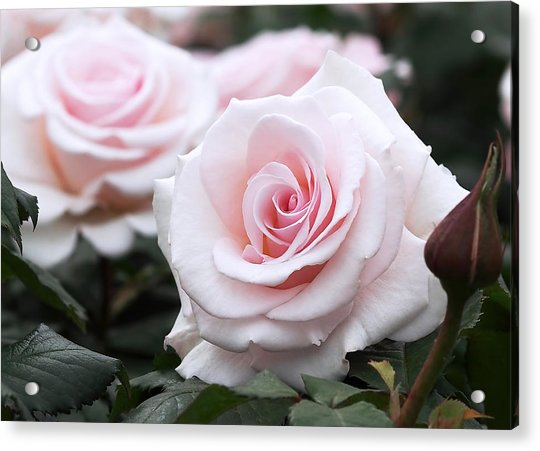Acrylic Print featuring the photograph Blush Pink Roses by Rona Black