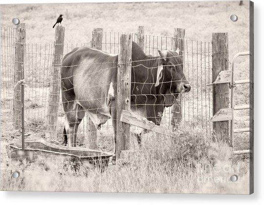 Brahman Bull Acrylic Print
