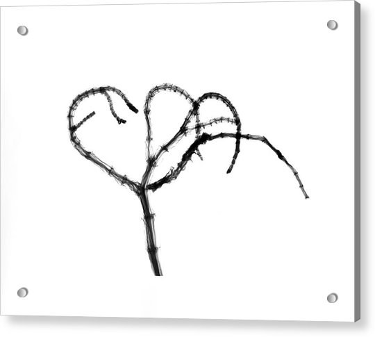 Branching Plant Stem Acrylic Print by Albert Koetsier X-ray